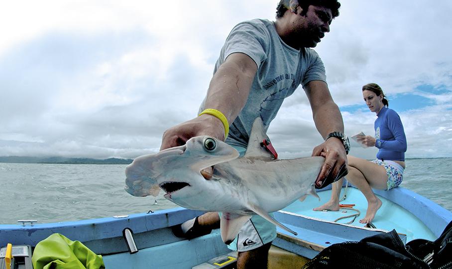 Los tiburones martillo tienen un muy bajo porcentaje de sobrevivencia tras ser capturados. Fotografía cortesía de Misión Tiburón