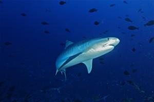 Se estima que a nivel global se matan entre 63 y 273 millones de tiburones anualmente.