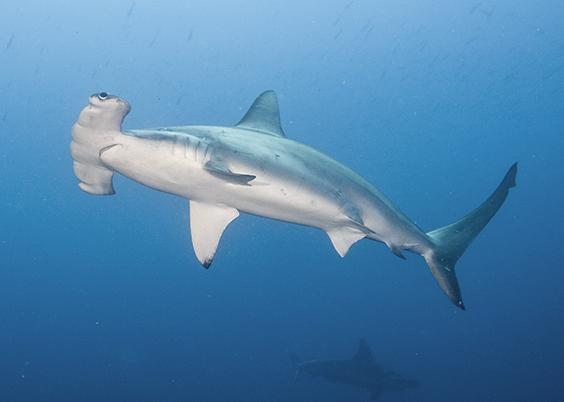 10 Cosas Que No Conocías Sobre El Tiburón Martillo