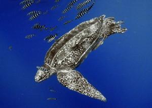 Una enorme tortuga Baula