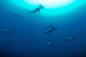 Tenemos la oportunidad de volver a ser un referente en  la conservación de tiburones