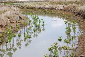 Indonesia ha tenido que aprender sobre la importancia de los manglares de una forma muy dura. Hoy existen varios proyectos de recuperación de este ecosistema. Foto por Conservation International
