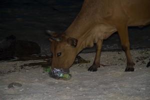 Hasta el ganado consume el plástico