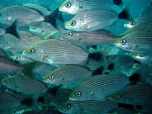 """Roncadores rayados en la Isla del Caño: A veces debajo del agua, el """"cielo"""" se oscurece por las grandes """"nubes"""" de peces."""