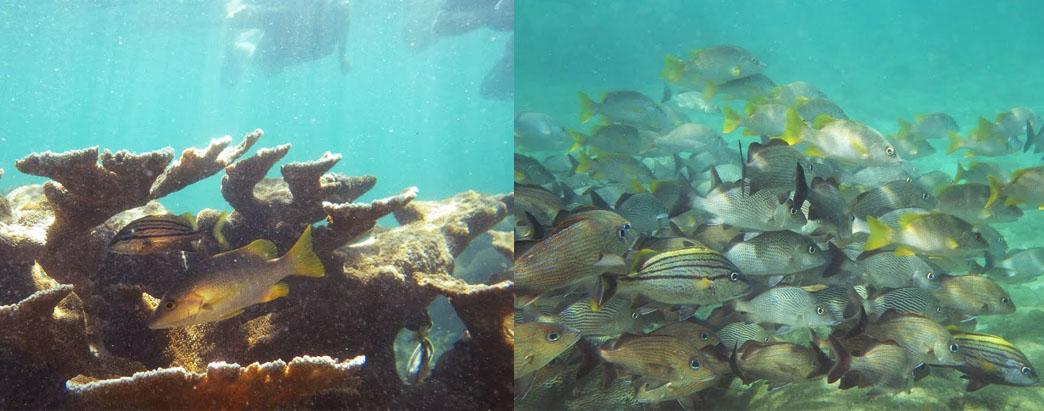 Pargos y roncadores en el Parque Nacional Cahuita debajo de un coral cuerno de alce (Izq.) y nadando en cardúmenes (Der.).