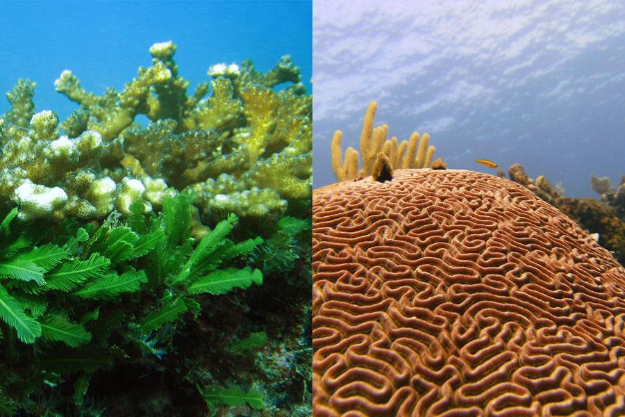 Los corales que habitan el océano Pacífico (Izq.), son muy distintos de los del mar Caribe (Der.).